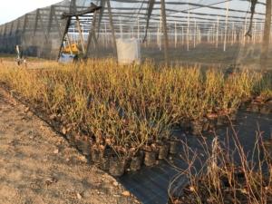 prodej sazenic borůvkových keřů